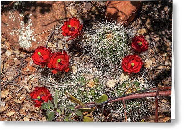 Scarlet Cactus Blooms Greeting Card