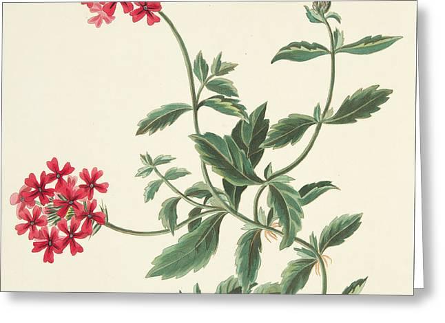Scarlet Flowered Vervain Greeting Card