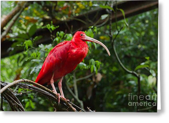 Scarlet Ibis Greeting Card by B.G. Thomson