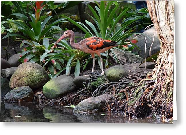 Scarlet Ibis Birds 02 Greeting Card