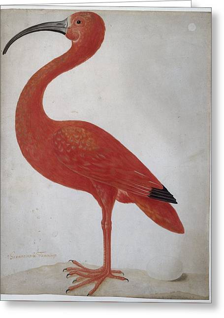 Scarlet Ibis With An Egg Greeting Card