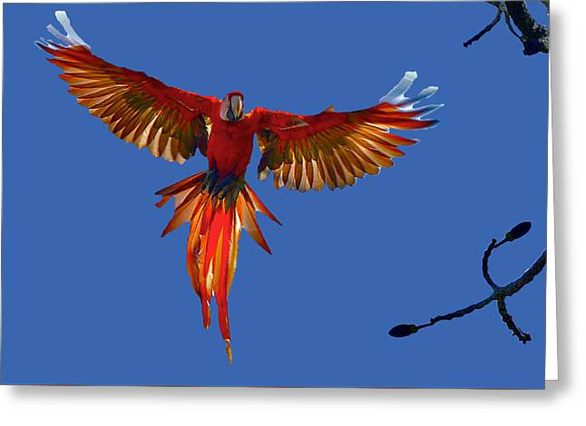 Scarlet Macaw On The Osa Peninsula Greeting Card