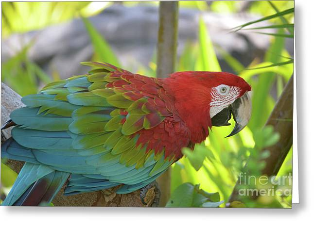 Scarlet Macaw Perched In A Tropical Tree Greeting Card by DejaVu Designs