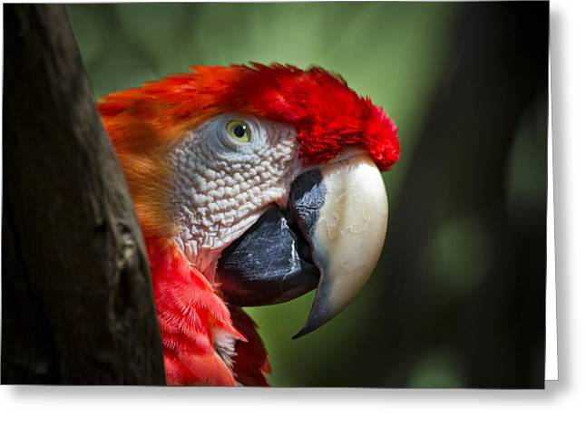 Scarlet Macaw Greeting Card by Roger Wedegis