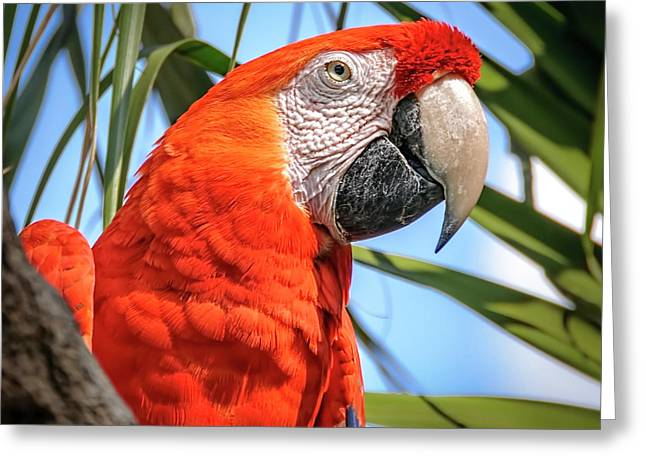 Greeting Card featuring the photograph Scarlet Macaw by Steven Sparks