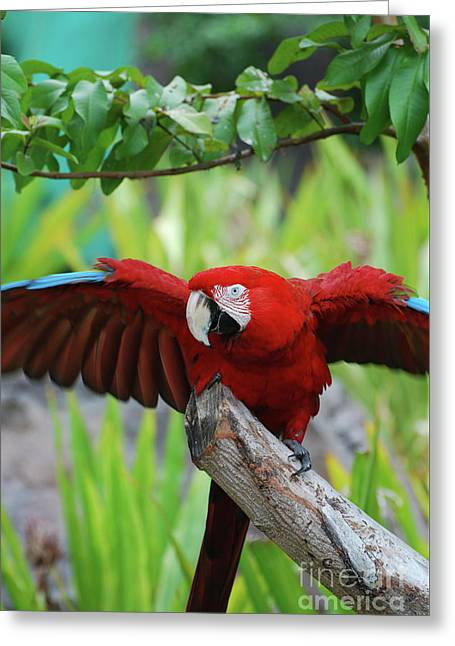 Scarlet Macaw With Wings Extended Greeting Card by DejaVu Designs