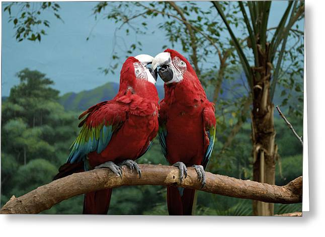 Scarlet Macaws Kissing Greeting Card by Thomas Woolworth