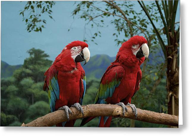 Scarlet Macaws Spring Time Courting Greeting Card