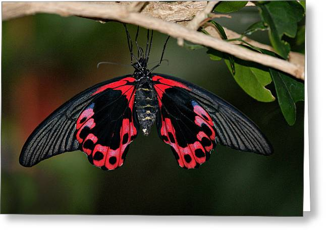 Scarlet Mormon Butterfly Greeting Card by Sandy Keeton