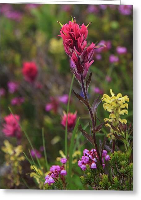 Scarlet Paintbrush Greeting Card