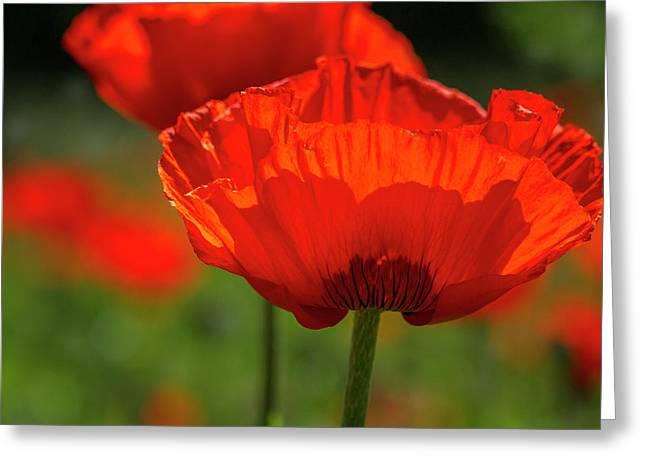 Scarlet Poppies Greeting Card