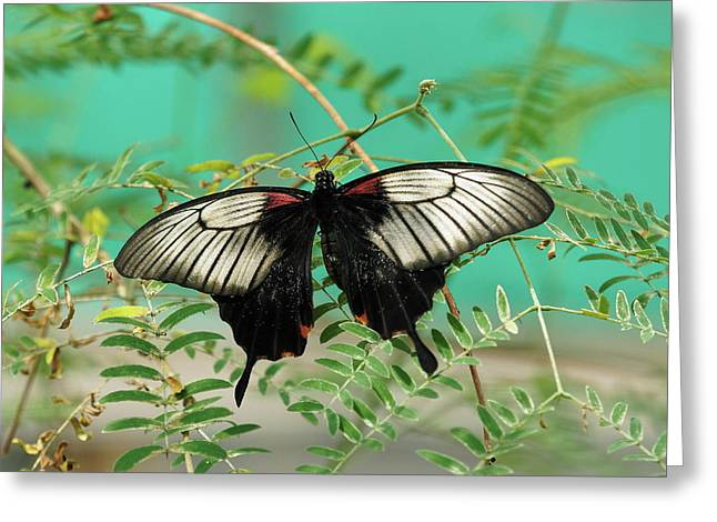 Greeting Card featuring the photograph Scarlet Swallowtail Butterfly -2 by Paul Gulliver