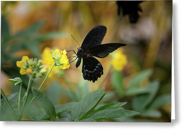 Scarlet Swallowtail Butterfly On Bright Yellow Flower With Other Greeting Card by Matthew Gibson