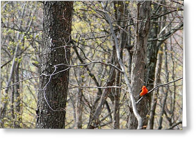 Scarlet Tanager Male Facing Greeting Card by Donald Lively