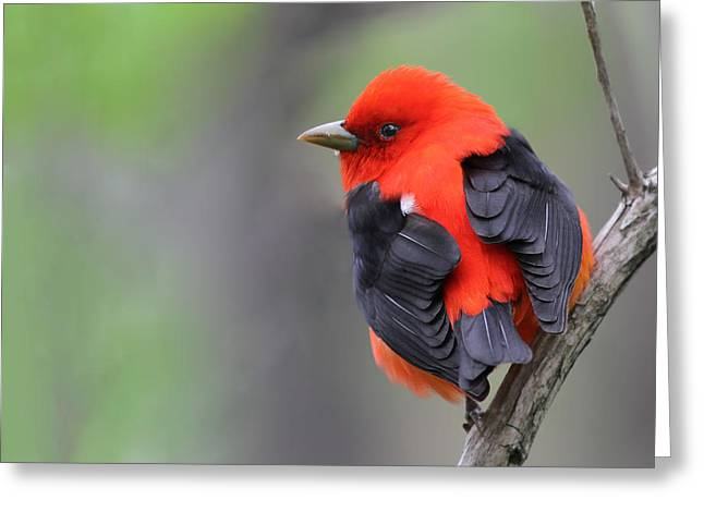 Scarlet Tanager Greeting Card by Mircea Costina Photography