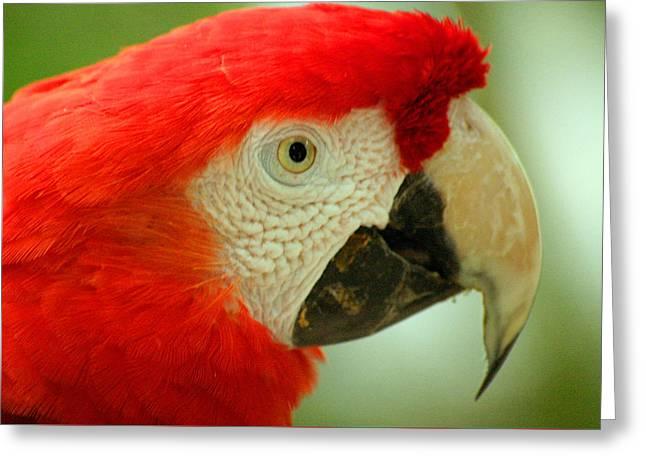 Scarlett Macaw South America Greeting Card