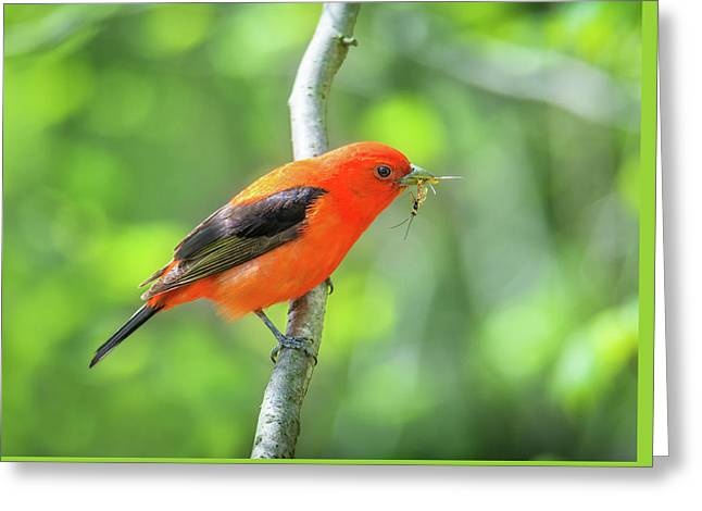 Scarlett Tanager And Prey Greeting Card