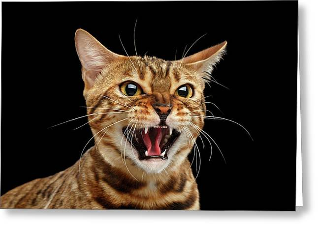 Greeting Card featuring the photograph Scary Hissing Bengal Cat On Black Background by Sergey Taran