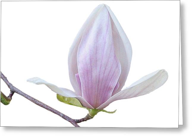 Scent Of A Magnolia Greeting Card by Christine Till