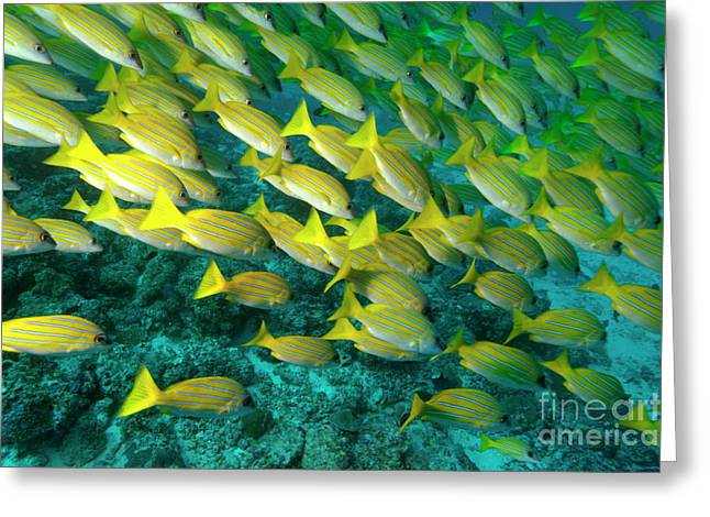 School Of Blue Stripe Snapper Greeting Card by Sami Sarkis