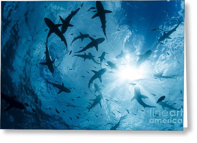School Of Grey Reef Sharks Greeting Card by Dave Fleetham