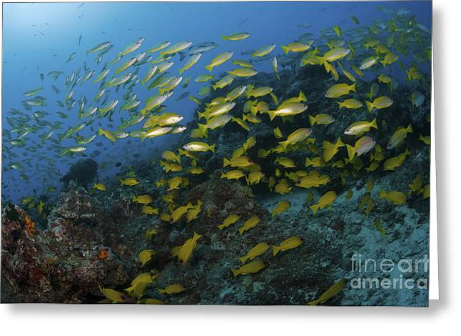 School Of Yellow Snapper, Great Barrier Greeting Card by Mathieu Meur