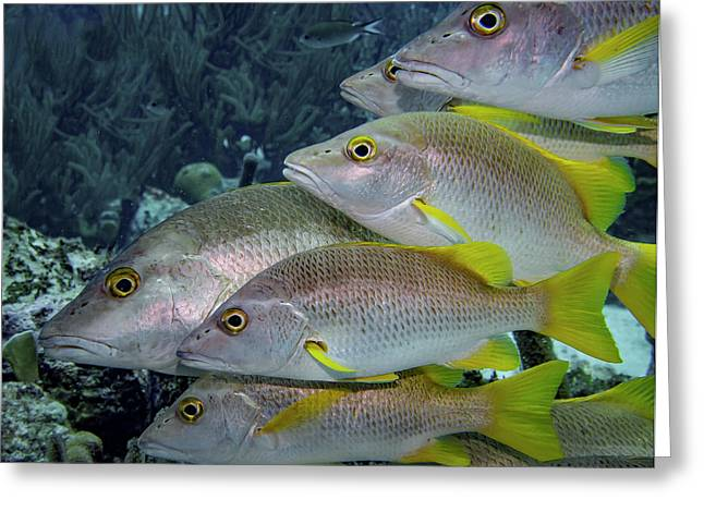 School Of Yellowtail Snapper Greeting Card by Jean Noren