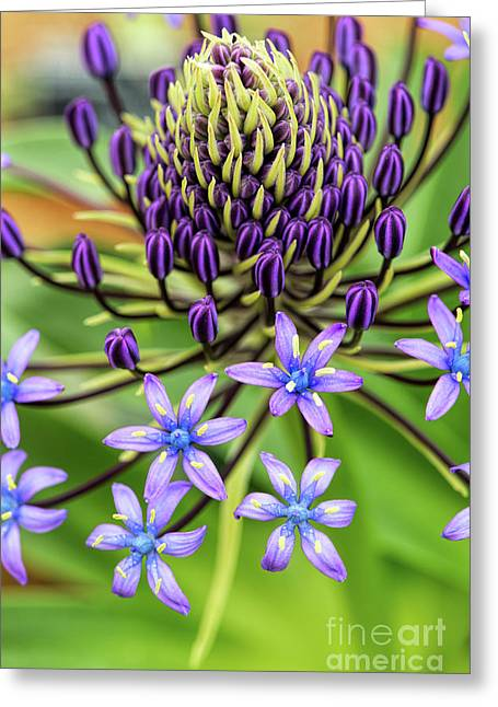 Scilla Hughii  Greeting Card by Tim Gainey