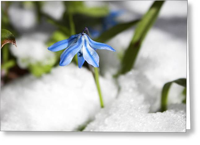 Scilla In Snow Greeting Card by Jeff Severson