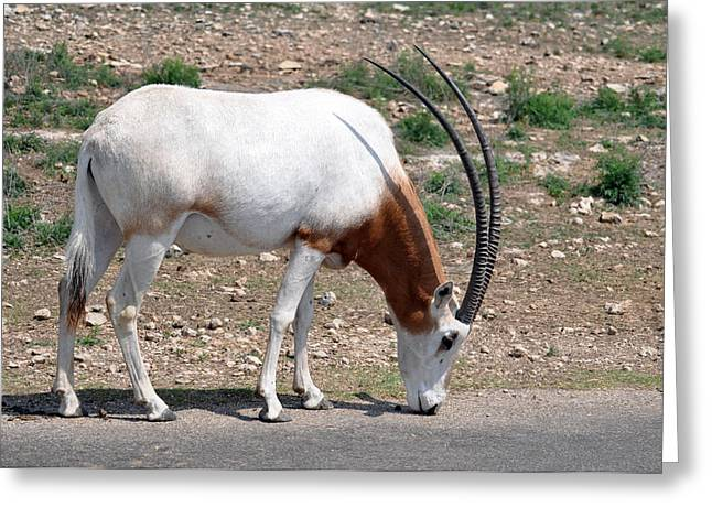Scimitar Horned Oryx Greeting Card by Teresa Blanton