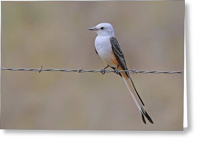 Flycatcher Greeting Cards - Scissor-tailed Flycatcher Greeting Card by Tony Beck