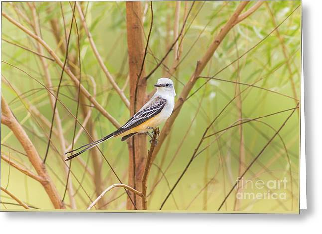 Greeting Card featuring the photograph Scissortail In Scrub by Robert Frederick