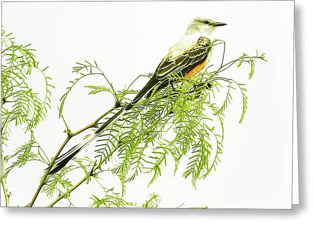 Greeting Card featuring the photograph Scissortail On Mesquite by Robert Frederick