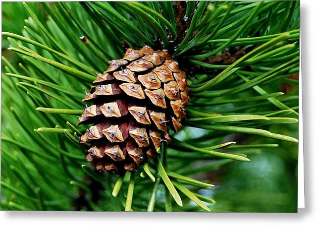 Scotch Pine Cone Greeting Card by Marilynne Bull