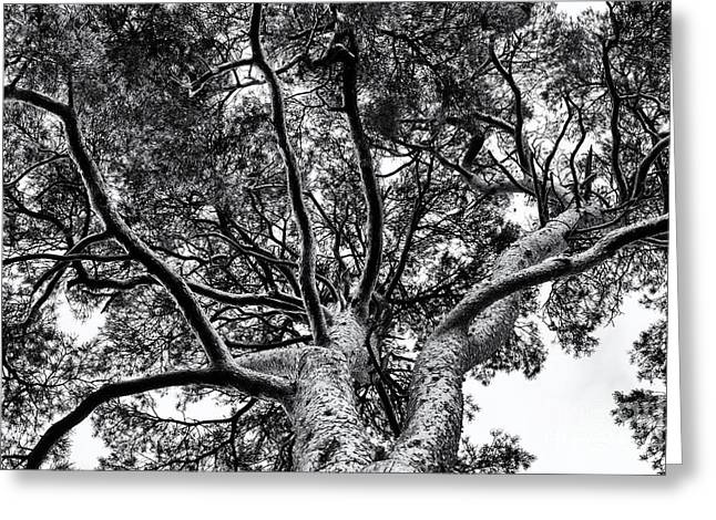 Scots Pine Monochrome Greeting Card by Tim Gainey