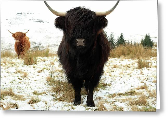 Scottish Black Highland Coo Greeting Card