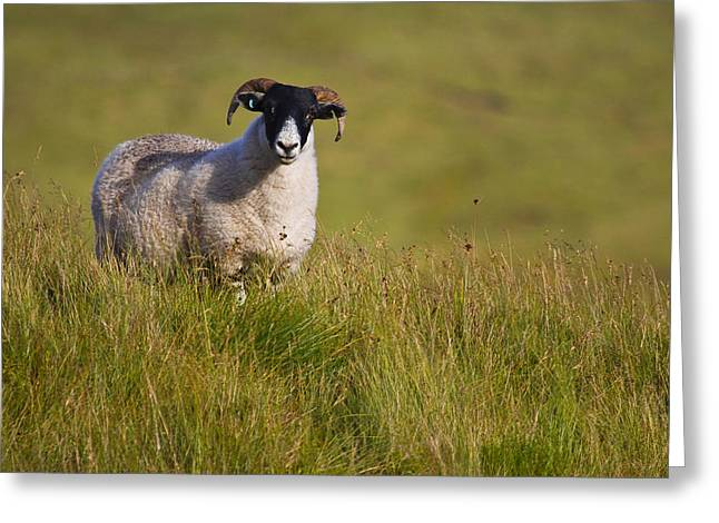 Scottish Blackface Sheep On Green Field Greeting Card by Gabor Pozsgai