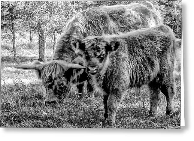 Scottish Highland Cattle Black And White Greeting Card by Constantine Gregory