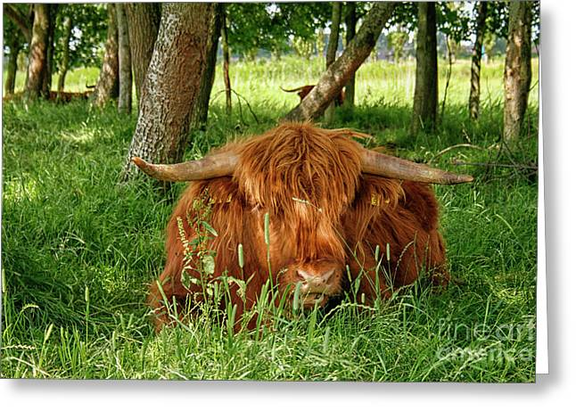 Greeting Card featuring the photograph Scottish Higland Cow by Patricia Hofmeester