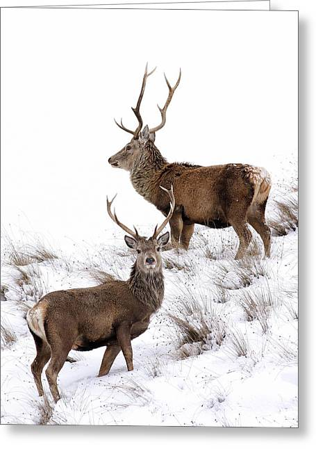 Greeting Card featuring the photograph Scottish Red Deer Stags by Grant Glendinning
