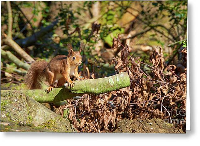 Scottish Red Squirrel Greeting Card