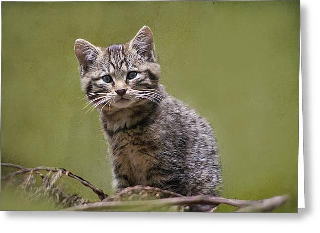 Scottish Wildcat Kitten Greeting Card
