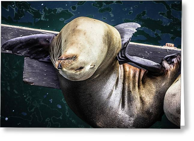 California Sea Lion - Scratch The Itch Greeting Card