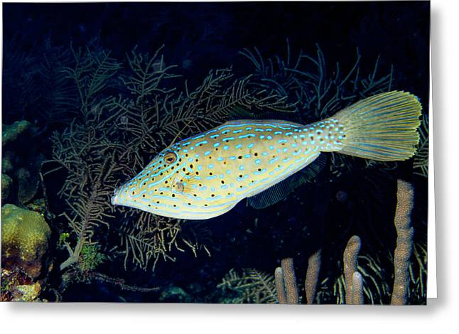 Greeting Card featuring the photograph Scrawled Filefish by Jean Noren