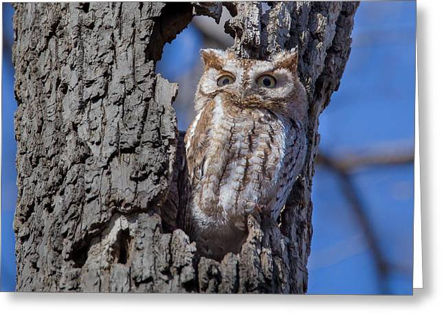 Greeting Card featuring the photograph Screech Owl #1 by Paul Schultz