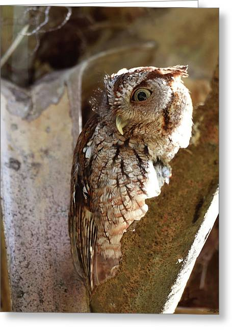 Greeting Card featuring the pyrography Screech Owl On The Lookout by Sally Sperry