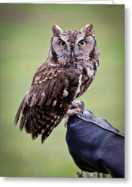 Screech Owl Perched Greeting Card by Athena Mckinzie