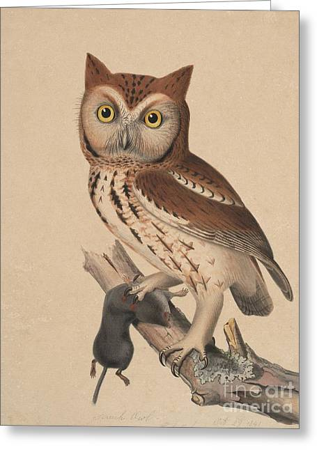 Screech Owl - Red Owl Greeting Card by Celestial Images