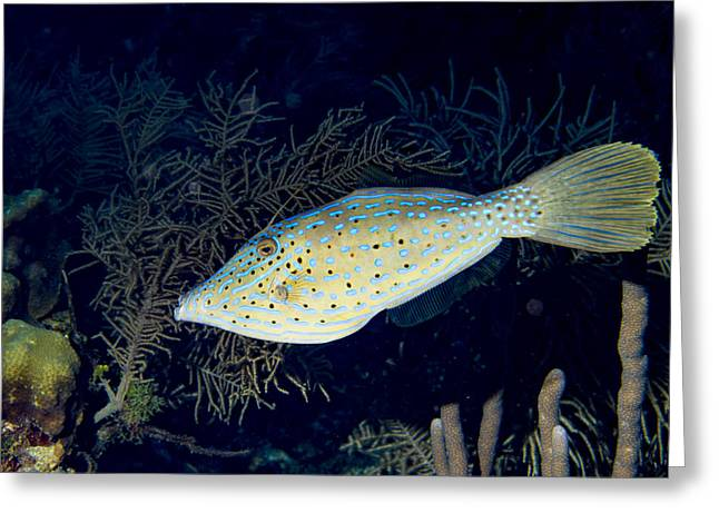 Scrolled Filefish Greeting Card by Jean Noren
