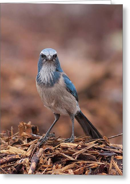 Scrub Jay On Chop Greeting Card